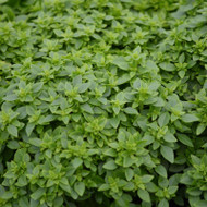 Buy Ocimum minimum 'Greek Basil' | Herb Plant for Sale in 9cm Pot