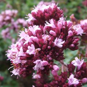 Buy Origanum laevigatum 'Herrenhausen' Oregano 'Herrenhausen' | Buy Herb Plant Online in 1 Litre Pot