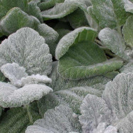 Buy Salvia 'argentea' Sage Silver | Buy Herb Plant Online in 1 Litre Pot