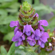 Buy Prunella vulgaris 'selfheal' Selfheal Blue Pearl | Herb Plant for Sale in 1 Litre Pot