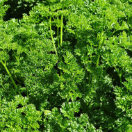 Buy Petroselinum crispum, Triple Curled Parsley | Buy Herb Seeds Online