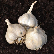 garlic picardy wight