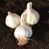 Buy Allium sativum 'softneck' Garlic, Provence