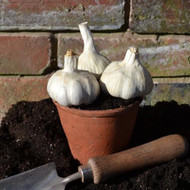 Buy Allium sativum 'Garlic, Best Flavour 3 pack'