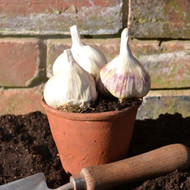 Buy Allium sativum 'Garlic, Softneck 3 Pack'