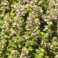 Buy Thymus vulgaris 'Thyme Common' | Buy Herb Seeds Online