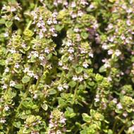 Buy Thymus vulgaris 'Thyme Common' | Buy Herb Seeds Online