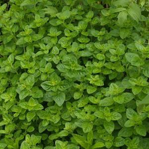 Buy Origanum onites 'Oregano Greek'   Herb Seeds for Sale