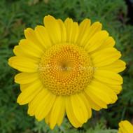 Anthemis tinctoria | Dyer's Chamomile | Herbs Online