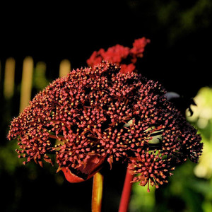 Buy Angelica Gigas, Korean Angelica | Herb Seeds for Sale