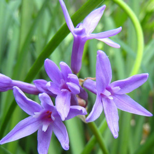 Buy Allium nutans Blue-flowering Garlic Chives | Herb Seeds for Sale