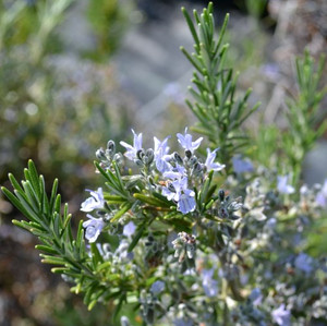 "Buy Rosemary Foxtail (Rosmarinus officinalis ""Foxtail"") 