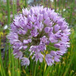 Allium nutans | Siberian chives | Blue Flowers | herb plants