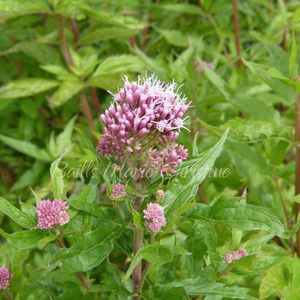 Eupatorium Purpureum | Queen of the Meadow | Herb Plants Online