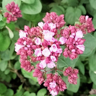 Buy Oregano Pink Flush | Herb Plants for Sale