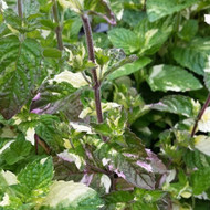 Buy NEW Mentha x piperita f. citata 'Variegated Grapefruit' (Variegated Grapefruit Mint) | Herb Plant for Sale in 9cm Pot