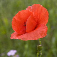 Buy Papaver rhoeas 'Common Poppy' | Buy Herb Plant Online in 9cm Pot