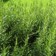 Buy Rosmarinus officinalis 'Aureus' Variegated Rosemary | Buy Herb Plant Online in 1 Litre Pot
