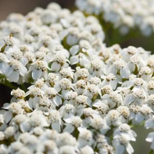 Buy Achillea millefolium 'Common Yarrow' Yarrow Common | Buy Herb Plant Online in 1 Litre Pot