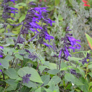 Salvia 'Amistad', (Indigo Sage) Herb Plant