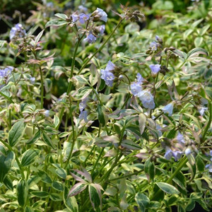 Jacobs Ladder 'Stairway to heaven' (Polemonium reptans 'Stairway to Heaven') Herb Plant 1 litre Pot