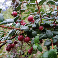 Buy Chilean Guava (Myrtus ugni) | Herb Plants for Sale