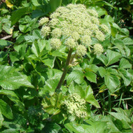 Buy Angelica 'pachycarpa' Spanish Angelica | Herb Plant for Sale in 1 Litre Pot