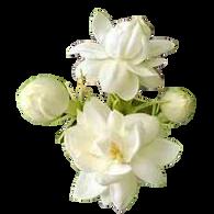 Attar Mist Mogra perfume oil made from Mogra flowers
