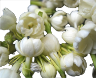 Motia flowers - Source of Attar Mist Motia perfume oil