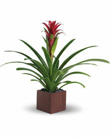 Bromeliad for delivery anywhere in Italy, check our other plants available.