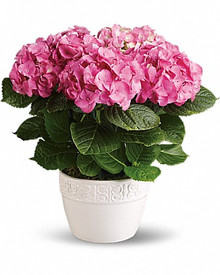 Send a pink Hydrangea nicely arranged in good quality pot.
