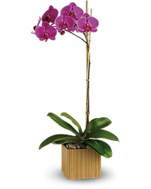The perfect choice on plants, a purple/pink orchid plant in a good quality pot.