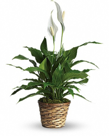 Send Spathiphyllum plant in Italy, best option as sympathy gift.