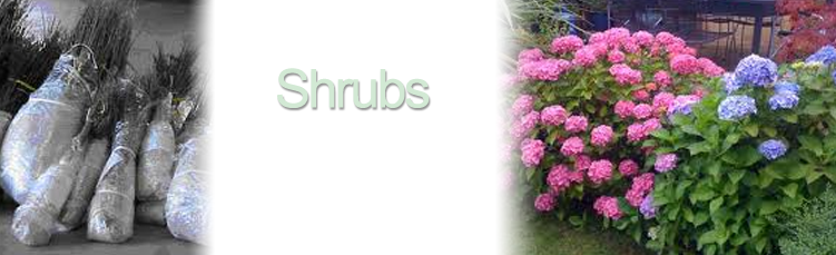 bareroot-shrubs-and-packed.png