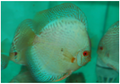 """Green Diamond Snake Skin Discus Fish"" 2 inch"