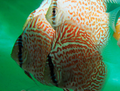"""Ring Leopard Discus Fish"" 3.5 inch"