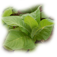 plant-tobacco.png