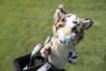 Included in the Ultimate Gift Set.      Show your Bobcat Pride while on the course with this plush Bobcat head cover. Fits any club.