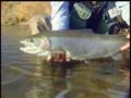 Alaska Fly Fishing - Big Rainbow Trout