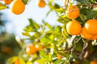 Sweet Orange - Citrus sinensis
