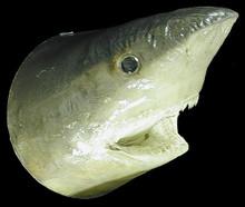 Real Sharks Head