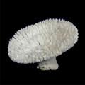 Table Special Coral (Acropora Hyacinthus)