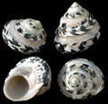 Pearl Banded Arapica Set of 3
