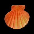 Orange Lions Paw / Pecten Subnodosus Set of 3