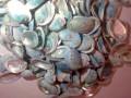 Tiny Blue Abalone 8-20mm