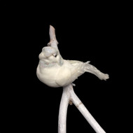 12cm White Bird with Clip