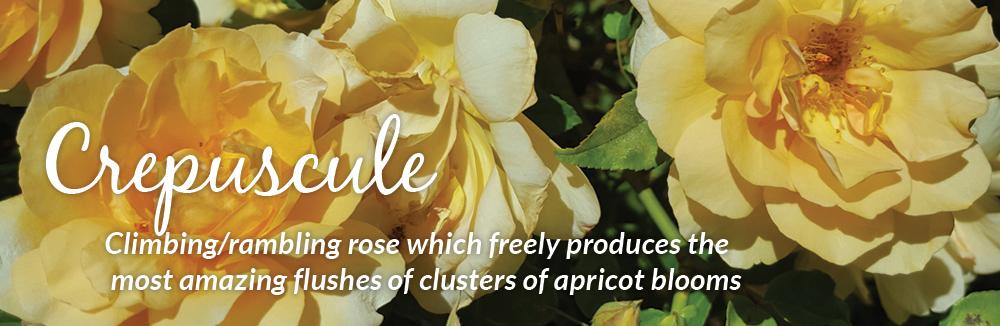 Crepuscule Climbing Roses