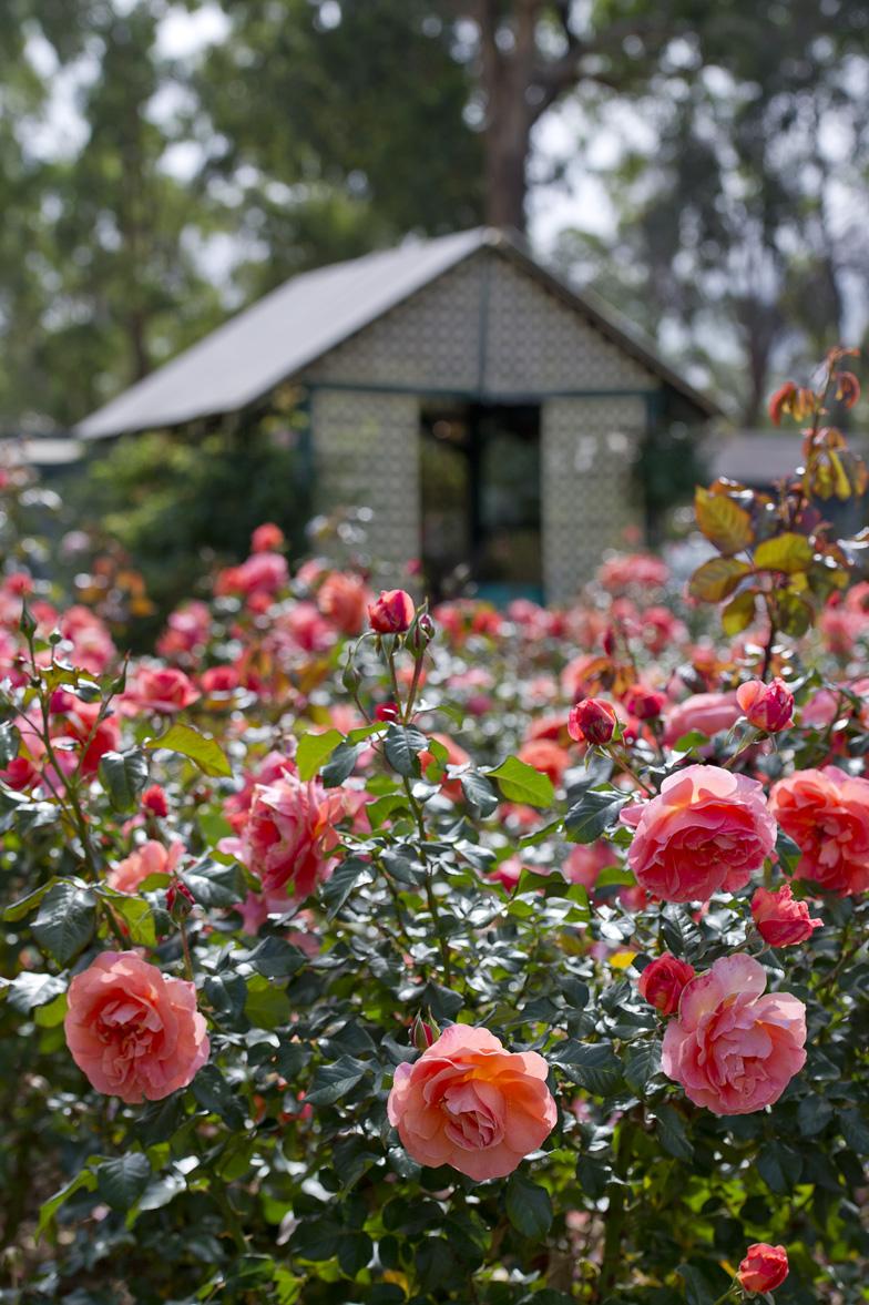 120-hedge-roses.jpg