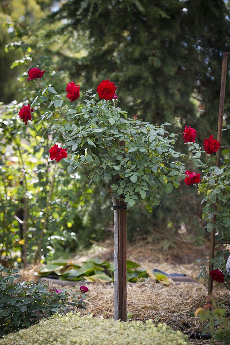 229-standard-roses.jpg