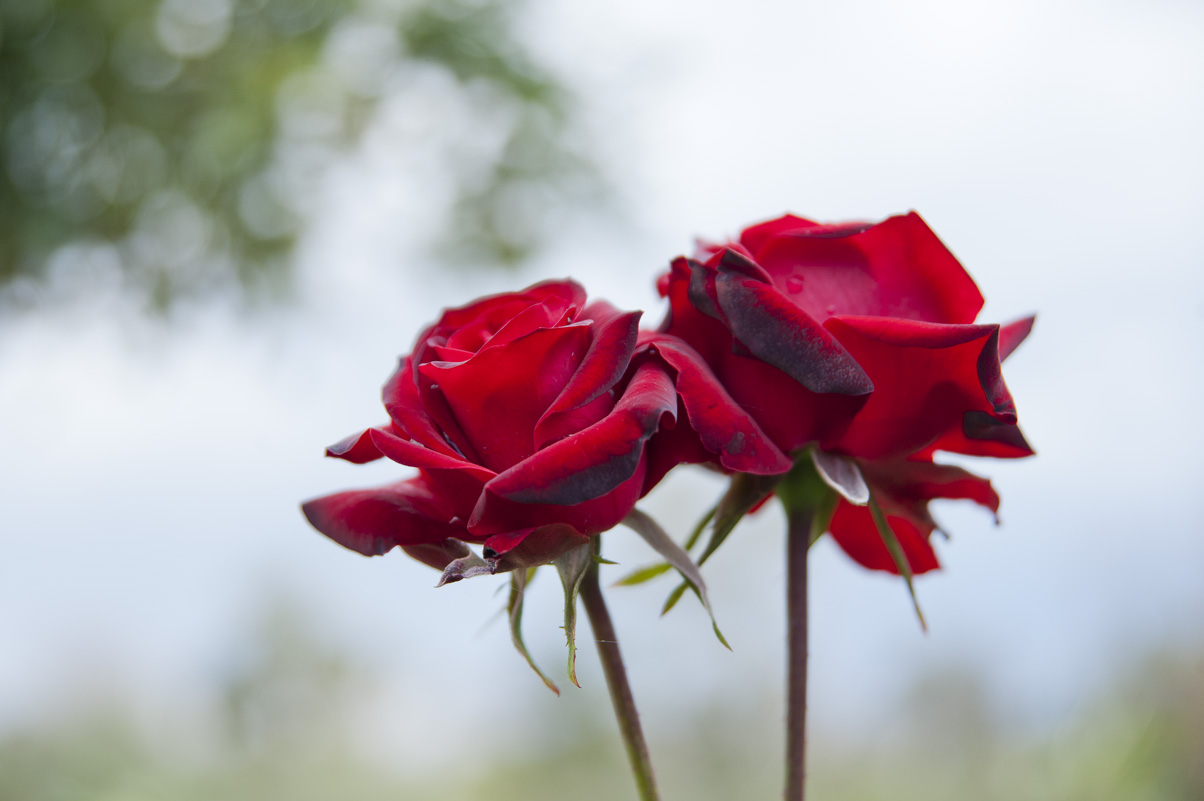 258-truly-romantic-roses.jpg